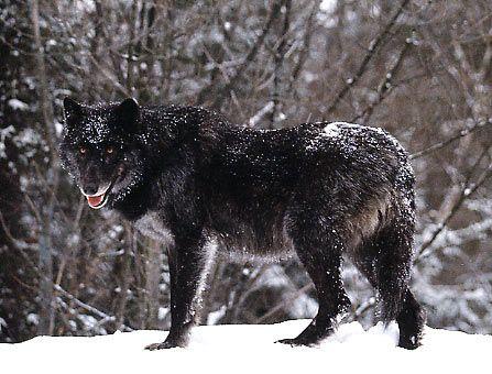 6f19c11b75c9e5258cf59f2501be15dd--timberwolf-black-wolves.jpg